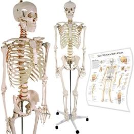Anatomie Skelett / menschliches Modell inkl. Schutzabdeckung, Standfuß auf Rollen und Lehrgrafik, lebensgroß 181cm -