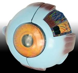 Auge, 6fache Größe, 7-teilig, Modell -