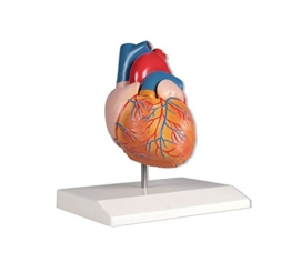 Herzmodell, 2-teilig, natürliche Größe -