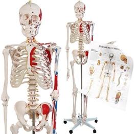 Menschliches Skelett Anatomie Modell Menschliches Skelett mit Detailsund ca. 200 Knochen - 181,5 cm groß - Lehrgrafik inkl. -