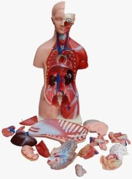 Torso, Mann und Frau, 45cm, 23 Teile, Anatomiemodell -